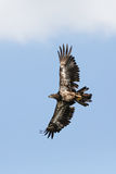 Immature Bald Eagle soaring Stock Image