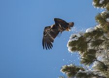 Immature bald eagle taking off from a snow covered tree. An immature bald eagle takes off from it`s perch in a snow covered pine tree trailing bits of snow Royalty Free Stock Photos