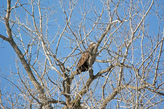Immature Bald Eagle in a Tree. Bald Eagles do not get their white heads until they are about four years of age. The tree is camouflaging the bird as it perches Royalty Free Stock Photos