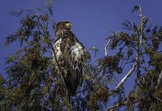 Immature Bald Eagle. In a windy tree top Stock Photos