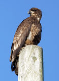 Immature Bald Eagle Royalty Free Stock Images