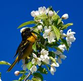 A Immature Baltimore Oriole #1. This is a Spring picture of a Immature Baltimore Oriole In the blossoms of a tree in the Montrose Point Bird Sanctuary on Lake stock photos
