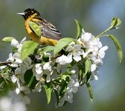 A Immature Baltimore Oriole #4. This is a Spring picture of a Immature Baltimore Oriole In the blossoms of a tree in the Montrose Point Bird Sanctuary on Lake stock image