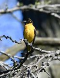 A Immature Baltimore Oriole #6. This is a Spring picture of a Immature Baltimore Oriole in a hedge in the Montrose Point Bird Sanctuary on Lake Michigan located royalty free stock image