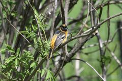 Immature Baltimore Oriole #1. This is a Spring picture of an Immature Baltimore Oriole perched on a branch in the Montrose Point Bird Sanctuary on a Lake royalty free stock photos