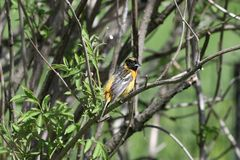 Immature Baltimore Oriole #2. This is a Spring picture of an Immature Baltimore Oriole perched on a branch in the Montrose Point Bird Sanctuary on a Lake royalty free stock photography