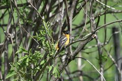 Immature Baltimore Oriole #3. This is a Spring picture of an Immature Baltimore Oriole perched on a branch in the Montrose Point Bird Sanctuary on a Lake stock photography