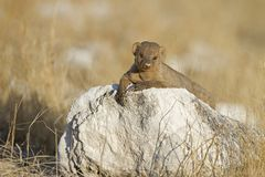 Immature banded mongoose Royalty Free Stock Image