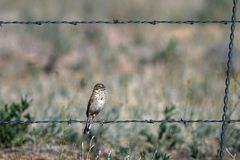 Bell`s Sparrow perches on a barbed-wire fence in southern Colorado`s rural San Luis Valley Royalty Free Stock Image
