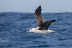 Immature Black browed Albatross in flight. An immature Black-browed Albatross Thalassarche melanophrys in flight over the sea, South Africa stock image