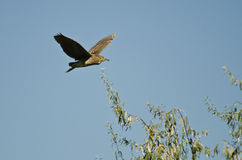 Immature Black-crowned Night-Heron Flying in a Blue Sky Stock Image