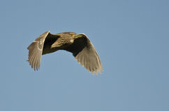 Immature Black-crowned Night-Heron Flying in a Blue Sky Stock Photos