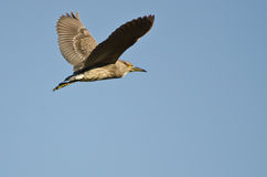 Immature Black-Crowned Night Heron Flying in a Blue Sky Royalty Free Stock Images