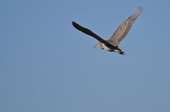 Immature Black-Crowned Night-Heron Flying in a Blue Sky Stock Images