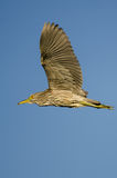 Immature Black-Crowned Night-Heron Flying in a Blue Sky Royalty Free Stock Image