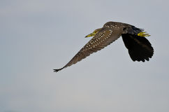 Immature Black-Crowned Night Heron Flying in a Blue Sky Royalty Free Stock Photography