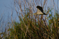 Immature Black-Crowned Night Heron Flying in a Blue Sky Royalty Free Stock Image