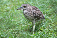 Immature black crowned night heron Royalty Free Stock Images