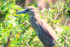 Immature black-crowned night heron in green, Japan Royalty Free Stock Image