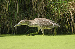Immature Black Crowned Night Heron Stalking Prey. In The Skokie Lagoons in Illinois Royalty Free Stock Photography