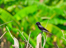 Immature Black Drongo Royalty Free Stock Images