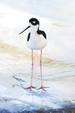 Immature Black-necked Stilt. A photo of a young Black-necked Stilt stock photography