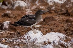 Immature Blue-footed Booby stock photos
