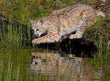 Bobcat. Immature bobcat at pond with paw dripping just out of the water Stock Images