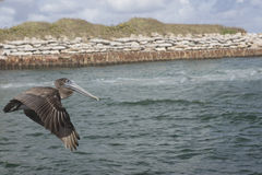 Immature Brown Pelican Flying along the Boca Raton Inlet waiting. A brown pelican flying along the Boca Raton Inlet searching for it`s next meal Royalty Free Stock Images
