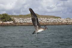 Immature Brown Pelican Flying over Boca Raton Inlet. Florida Royalty Free Stock Photography