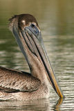 Immature Brown Pelican Portrait. A portrait of an immature brown pelican on the Atlantic Ocean Royalty Free Stock Photography