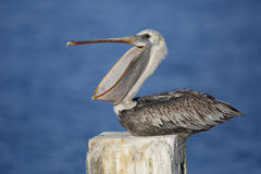 Immature Brown Pelican Yawning on a Dock Piling - Florida Stock Photography