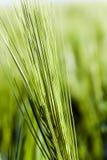 Immature cereals . wheat Stock Photo