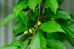 Immature cherries in green leaves on the tree Royalty Free Stock Images