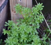 Immature Cleavers. Plant growing in a garden Stock Images