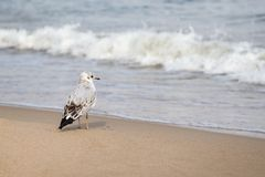 Immature Common Black-headed Gull Royalty Free Stock Images