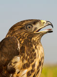 immature common buzzard - close-up  / Buteo buteo Stock Photography