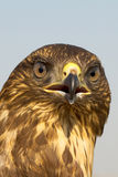 Immature common buzzard - close-up  / Buteo buteo Royalty Free Stock Photo