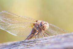 Immature Common darter Dragon fly Royalty Free Stock Photo