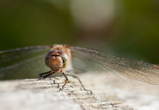 Immature Common darter Dragon fly Stock Image