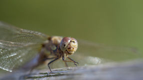 Immature Common darter Dragon fly Stock Photos
