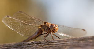 Immature Common darter Dragon fly Stock Photography