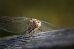 Immature Common darter Dragon fly Royalty Free Stock Image