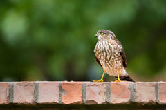 Immature Coopers Hawk (Accipiter cooperii) Stock Images