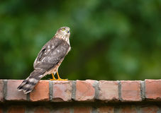 Immature Coopers Hawk (Accipiter cooperii) Stock Photos