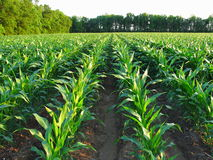 Immature Corn. Corn standing thigh high after rains royalty free stock photos