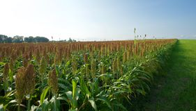 Sorghum Crops. One species, Sorghum bicolor,[9] native to Africa with many cultivated forms now,[10] is an important crop worldwide, used for food (as grain and Royalty Free Stock Photography