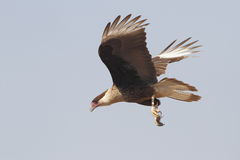 Immature Crested Caracara in Flight - Texas Stock Image