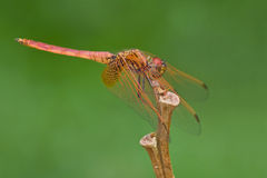 An immature crimson dropwing, Trithemis aurora Royalty Free Stock Images