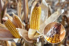 Immature, diseased and moldy corn cob on the field, close-up. Collect corn crop stock images